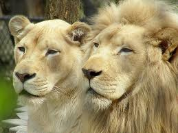 male-and-female-white-lion.jpg